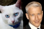 Blue-eyed, white-haired cat = Anderson Cooper