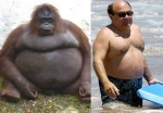 fat Orangutan = Danny DeVito