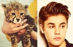 Cheetah Cub = Justin Bieber