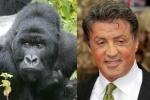 Gorilla = Sylvester Stallone