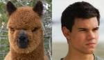 Llama = Taylor Lautner