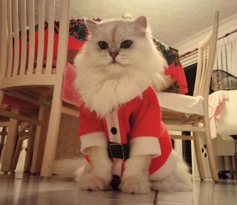 cat dressed as santa